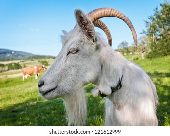 Goat on pasture