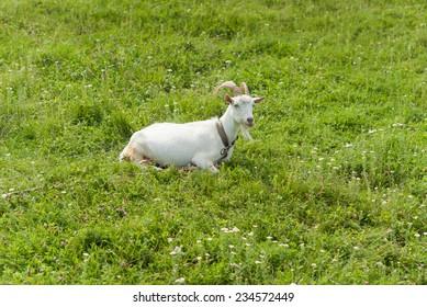 Goat on pasture.