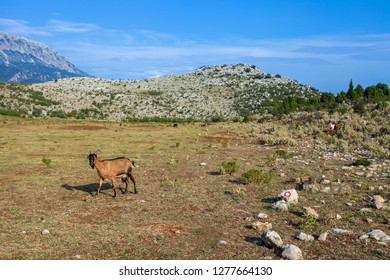 Goat on a pasture in a mountains of Montenegro