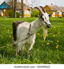 Goat on a pasture in the village