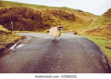 A Goat on the Road, The Grassy Hills of Fairy Glen, Uig, Isle of Skye, Highland, Scotland