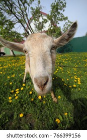 Goat on a spring meadow