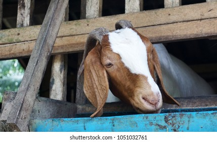 Goat on a stall in the oil palm plantations of the feeding trough