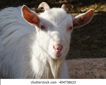 goat is one of the first domesticated animals