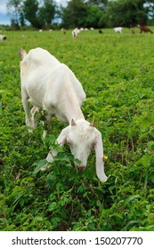 Goat outdoor in livestock farmland on countryside.