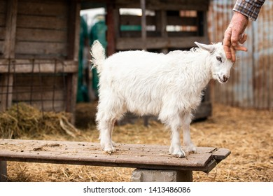 Goat outside in nature during the day time
