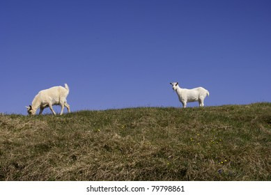 A goat in a pasture with a grassy hill in the background