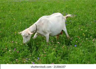 A goat in a pasture of green grass