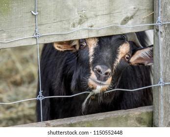goat peeking out of its pen