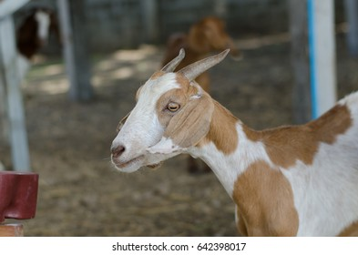 Goat as a pet in a business context