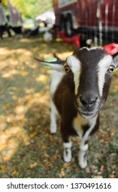 Goat at a petting zoo.