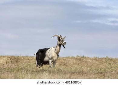 Goat photo in meadow. Goat herd.