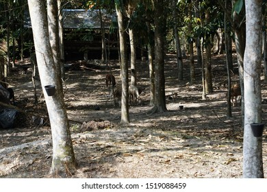 Goat playing at rubber tree forest