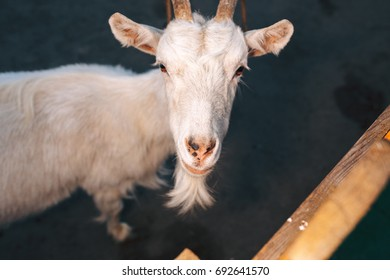 Goat portrait at country side in the evening
