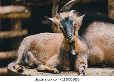 Goat portrait photo