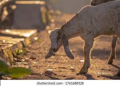 Goat for Qurban Eid al-Adha. Eid al-Adha is an Islamic festival to commemorate the willingness of Ibrahim (also known as Abraham) to follow Allah's (God's) command to sacrifice his son.