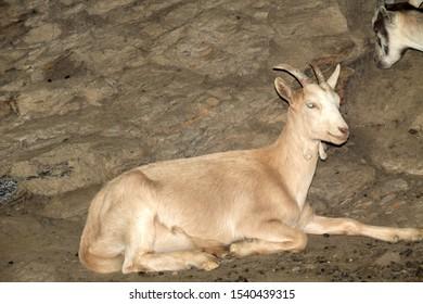 Goat resting in a farm