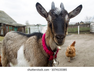 Goat in a rural farmstead. look into the lens.