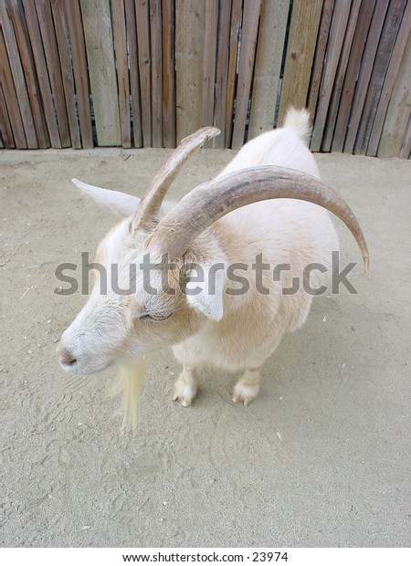 Goat at the San Francisco zoo