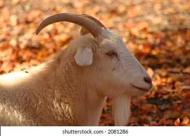 Goat in the shade