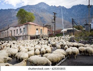 Goat and sheep flock in Kakheti region, Georgia, Caucasus.