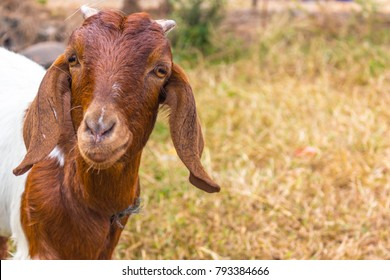 Goat with short horns, Brown goat on head and neck, Goat in the field, Goat is a mammal.