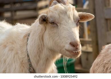Goat showing teeth