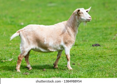 A goat side view on a green pasture at a farm