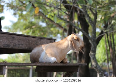 goat sitting on the bench