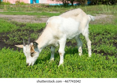 goat sitting on the grass, Russia, village, summer