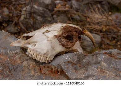 goat skeleton in the wild