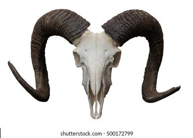 Goat skull isolated on the white background