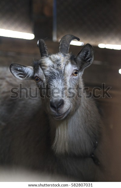 Goat smiling. Goat staring. Hungry goat. Farmer's place