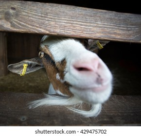 A goat squeezes its head through a fence