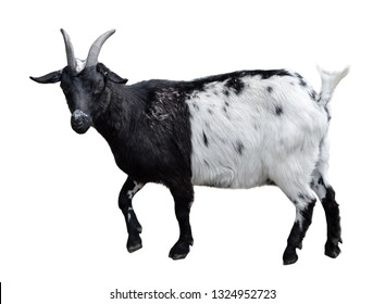 Goat standing full length isolated on white. Very funny white and black female goat close up. Farm animals.