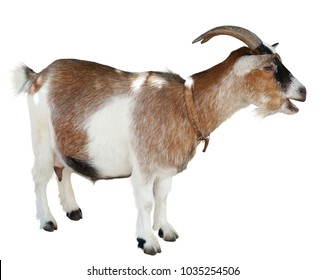 Goat standing isolated on white background