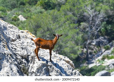 Goat standing on a rock watching