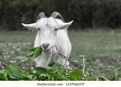 A goat tied to a chain is eating green grass