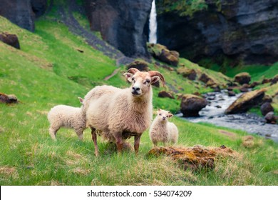 Goat with two babies on a green lawn. Colorful summer morning near  Kvernufoss waterfall in Iceland, Europe. Artistic style post processed photo.