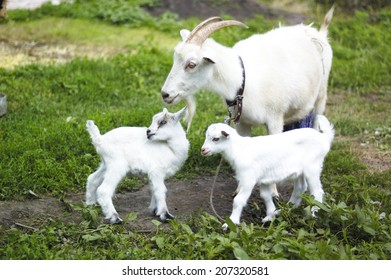 goat and two baby goats in pasture