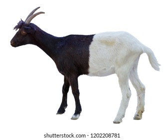 goat with an unusual black and white color on white background
