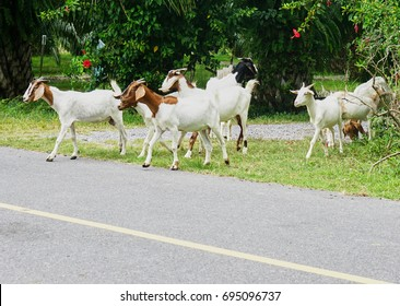 Goat are walking across the street