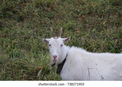 Goat walks pasture on an autumn day in cloudy rainy weather