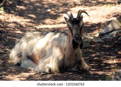 goat while hiking Mali Losinj, island Losinj, Croatia