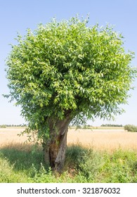 Goat willow (Salix caprea) is a common species of willow native to Europe and western and central Asia.