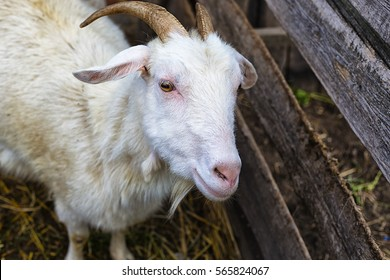 goat the young goat