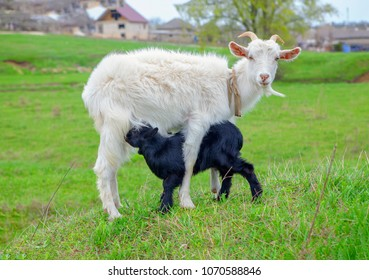 goat and young lamb on the green meadow
