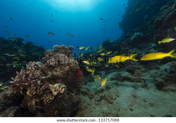 Goatfish in the tropical  waters of the Red Sea
