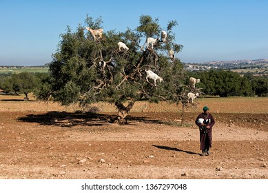 Goatherd carrying a small goat and an  argan tree with goats in the background (01/08/2015)