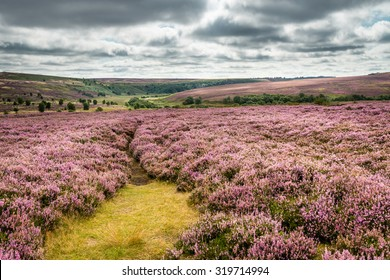Goathland Moor Heather / Goathland Moor in the North York Moors National Park is covered in pink-purple heather during September